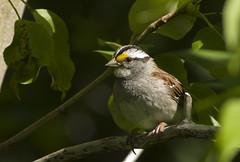 White throated Sparrow (Natimages) Tags: trees summer bird birding sparrow whitethroatedsparrow smallbird summerbird da3004 pentaxk3
