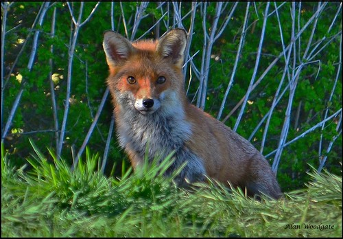 Red Fox (Vulpes vulpes) - Buckinghamshire