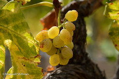 Left over grapes in the vinyard at Groot Contantia