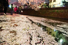 Walking along the river of sakura petals (runslikethewind83) Tags: people fall japan river cherry japanese march petals spring pentax blossom petal  cherryblossom  sakura kanagawa fell     2013 gumyoji
