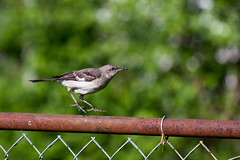 Hoverbird (rparmly) Tags: bird jump hover canon70300f456