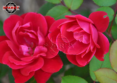 Knockout X2! (sparks1524) Tags: roses usa flower heritage history rose virginia bush blossom norfolk petal va knockout bloom bud roads hampton thorn budding knockouts