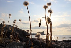 Just Dandy (just picture this....) Tags: sunset ontario canada collingwood georgianbay dandelion crhak bestevercompetitiongroup