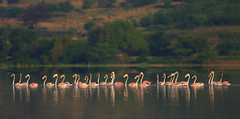greater flamingos (zahoor-salmi) Tags: camera pakistan macro nature birds animals canon lens photo tv google flickr natural action wildlife watch bbc punjab wwf salmi walpapers chanals discovry beutty bhalwal zahoorsalmi thewonderfulworldofbirds blinkagain