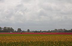 Roze, geel en groen. (Knoffelhuisie Photography.) Tags: groen tulips geel tulpen roze elementsorganizer
