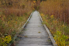 Boardwalk to Oblivion (FiddleHikeR) Tags: wood bridge autumn red usa brown minnesota yellow gold vanishingpoint bokeh fallcolors perspective boardwalk twincities bloomington nationalwildliferefuge leadinglines woodenwalkway minnesotavalleynationalwildliferefuge usfishandwildlife