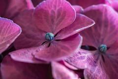 Hortensia (HeHeFoto) Tags: macro hydrangea bloem hortensia macrophylla