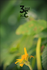 94 (   ) (3zoz_1) Tags: test flower yellow lens nikon zoom sharp saudi arabia nikkor riyadh alone1  55300 3zoz   d3100