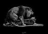 afrique lion grrrr ('^_^ Damail Nobre ^_^') Tags: bw favorite france art love nature animal canon word french geotagged fun photography zoo photo reflex europe noir photographie photos lion picture best fave jungle 7d animaux et blanc français francais afrique artiste photographe favoris dfn damail borderfx wwwdamailfr