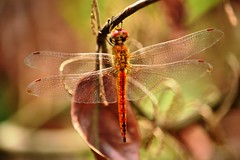 Dragonfly (vijaykhaitan) Tags: orange robin birds butterfly dragonfly owl damselfly thrush fantail barbet barbler