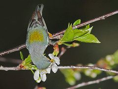 Paruline  collier / Northern Parula (mitch099) Tags: bird nature beauty collier spring quebec beaut northern printemps oiseau joliette parula lanaudiere paruline micheleamyot mitch099