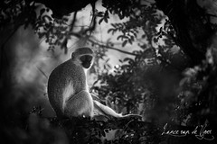 Makuleke 2013-2013151701 (Lance van de Vyver - Private Guide) Tags: africa bw southafrica kruger lowveld vervetmonkey lancevandevyver makuleke woodowllancevandevyverphotography