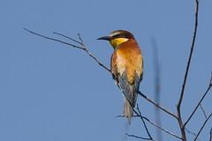 Gruccione (eos53) Tags: nature natura animale gruccione canon7d aviofauna