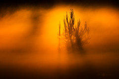 Pine In The Mist (Joni N) Tags: sunset summer orange mist tree yellow fog pine colorful pentax sunrays da300mm pentaxk5