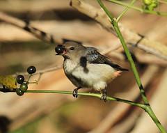 Mistletoe Bird - Taken on a Bird walk at Oxley Creek Common (Lekha Suraweera) Tags: elementsorganizer
