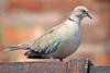 Collared Dove (Stephen Whittaker) Tags: bird nikon dove ring d5100 whitto27