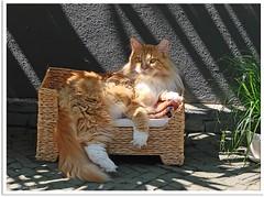 Audienz! - Audience (Jorbasa) Tags: pet animal cat germany deutschland hessen oscarwilde couch sofa mainecoon katze haustier tier tomcat wetterau audienz jorbasa