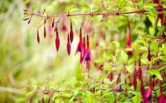 Hanging Pin Purple Fuchsia Flowers (Orbmiser) Tags: pink flowers oregon portland nikon purple fuchsia hanging summmer d90 55200vr