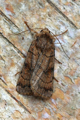 [2133] Six-striped Rustic- Xestia sexstrigata 13/08/2013