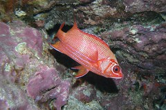 bluestripe squirrel (BarryFackler) Tags: ocean life sea fish nature water ecology animal coral fauna