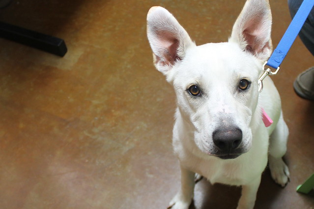 white dog with big ears