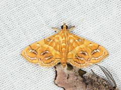 Daulia affralis (Crambidae, Spilomelinae) (Scrubmuncher) Tags: dauliaaffralis crambidae spilomelinae rosspiper moth lepidoptera tamanthi myanmar burma myanmarburmawildburmabbc2expeditionbbcexpeditionrosspiperentomologistentomology htamanthi moths lighttrap