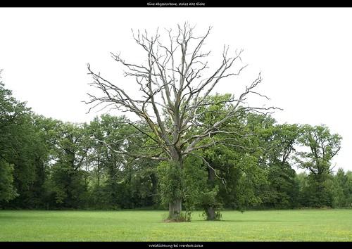 Dead standing oak tree