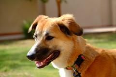 Lexi (Flsimages) Tags: rescue dog baby friend desert middleeast east saudi arabia forever middle pooch riyadh saudiarabia ksa desertdog