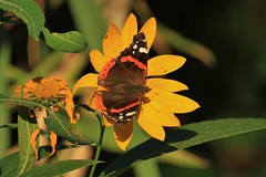la farfalla e il fiore - Pianello di Ostra (walterino1962 / sempre nomadi) Tags: foglie ombre erba luci fiori petali riflessi farfalla ancona ostra gambi