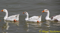 Ducks-4136 (Ajaykumar Bhagat) Tags: lake water birds swimming canon outdoors picnic ducks tamron 18270 60d sukhnalakechandigarh