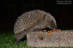 Midnight Stakeout (Hatto26) Tags: wild house cute animal garden norfolk shed snail hedge spike hedgehog slug feed hog spikes prickle