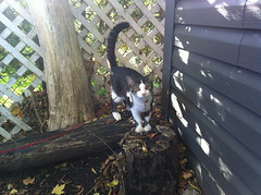 Foster cat Damon experiences the outside (ndh) Tags: cats animals damon