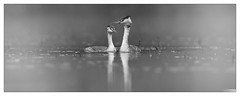 Grèbe huppé (Podiceps cristatus) (Denis.R) Tags: france canon 300mm lorraine oiseau brouillard brume moselle greatcrestedgrebe podicepscristatus grèbehuppé denisr 5dmarkiii canonef2xiii denisrebadj