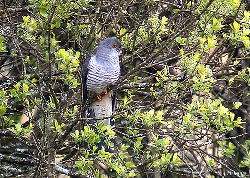 "Cuckoo (J H Johns) • <a style=""font-size:0.8em;"" href=""https://www.flickr.com/photos/30837261@N07/10723060194/"" target=""_blank"">View on Flickr</a>"