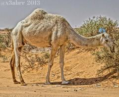 # #camel # #animal (photography AbdullahAlSaeed) Tags: animal camel   flickrandroidapp:filter=none