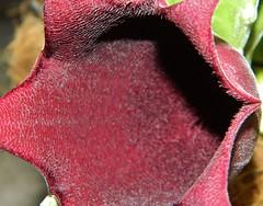 Stapelia leendertziae (A Botanical Wonderland (Million+ views)) Tags: no stapelia orbea asclepiadaceae huernia duvalia caralluma leendertziae
