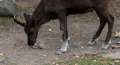 324 av 365 (Yvonne L Sweden) Tags: reindeer sweden stockholm ren skansen lav 365foton 3652013