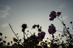 (ddsnet) Tags: flower sony taiwan resolution taichung   ilc      cosmosbipinnatus 7r  mirrorless   cosmos interchangeablelenscamera bipinnatus 7r ilce7r