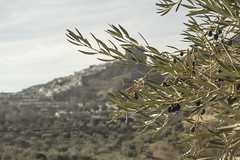Colomera - Granada- (Micheo) Tags: olivetrees olivos olivo olivegroves aceitunas andalucia andalusia landscape paisaje colomera