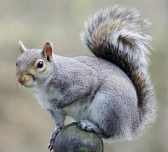 Grey Squirrel (X4Jon) Tags: nature animals grey squirrel ngc gray naturalhistory ringexcellence blinkagain dblringexcellence tplringexcellence eltringexcellence x4jon