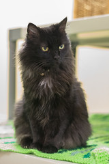 Baby Powder (Save-A-Pet Adoption Center) Tags: black senior female cat adopted babypowder saveapet 2013 permanentfoster