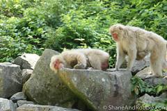 Japan-20130617-00797(Canon EOS 500D) (ShaneAndRobbie) Tags: japan monkey nagano jigokudani naganoprefecture japanesemacaque shimotakaidistrict joshinetsukogennationalpark