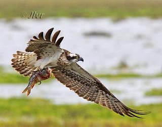 Aguila pescadora/Águia-pesqueira/Osprey (Pandion haliaetus)