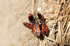 Bug Congress (gripspix (OFF)) Tags: nature bug natur insekt firebug wanze pyrrhocorisapterus inscet aphotowalk 20140307