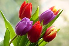 International Women's Day March 8 (evisdotter) Tags: macro colors tulips bokeh blommor internationalwomensday tulpaner sooc naistenpäivä platinumheartawards awesomeblossoms mygearandme mygearandmepremium mygearandmebronze mygearandmesilver mygearandmegold mygearandmeplatinum mygearandmediamond internationellakvinnodagen8mars