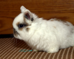 bunny4 (JamieDrakePhotos) Tags: rabbit bunny lapin hollandlop threeweeks rabbitkits