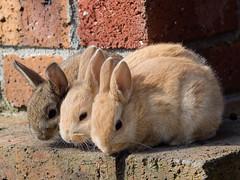 P4080133.jpg (norihon) Tags: rabbit animal hiroshima wildanimal ookunoshima