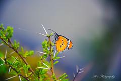 Butterfly (Ali's Photograpy) Tags: blue pakistan wild macro green butterfly evening nikon wilderness punjab riverjhelum jhelum d7100