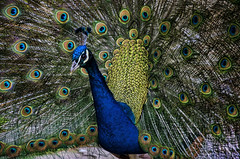 Zoo de Barcelona (2).- (ancama_99(toni)) Tags: barcelona blue vacation espaa birds azul fauna zoo interesting spain nikon aves catalonia explore pjaros ave catalunya vacaciones barcellona catalua barcelone pavoreal 1000views 18105 2014 catalogne 5000views 10favs 100faves 50faves 10faves explored 50favs 100favs 35favs 25favs 35faves 25faves d7000