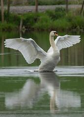 nothing beats a good stretch (RCB4J) Tags: reflection nature water scotland swan wildlife loch muteswan irvinevalley eastayrshire ladytonloch sigma150500mmf563dgoshsm sonyslta77v ronniebarron rcb4j ayrshiregalston